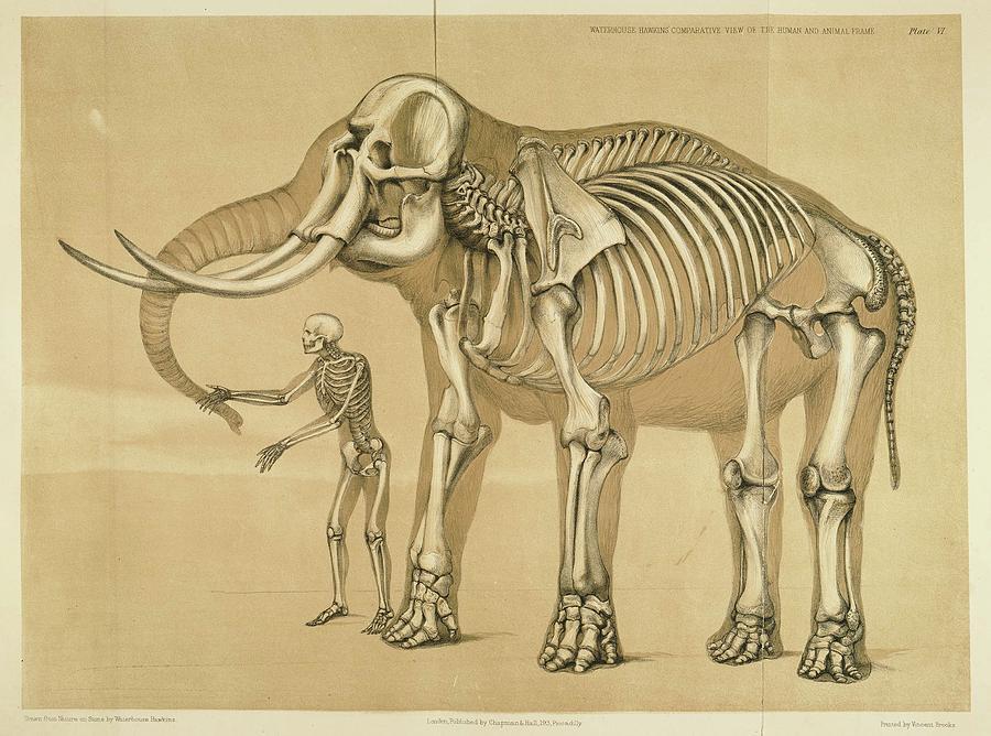 Vintage Elephant And Human Skeleton Illustration Drawing