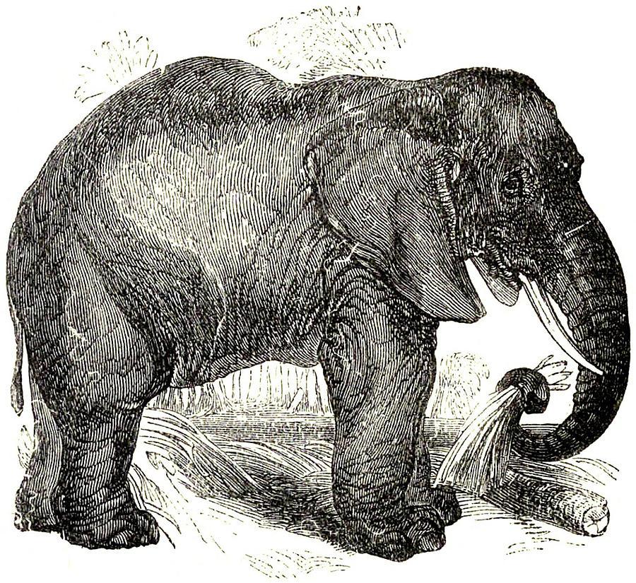 Vintage Elephant Illustration - 1891 Drawing