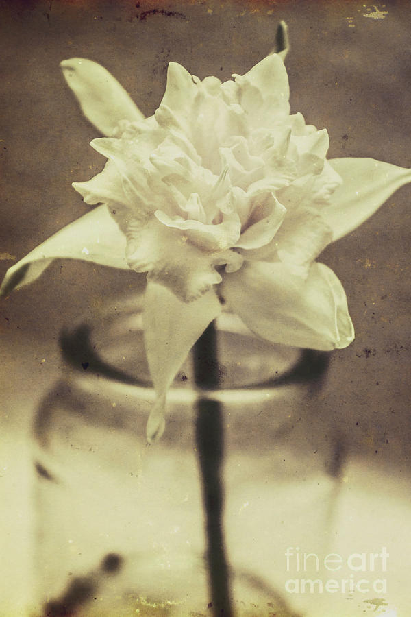 Antique Photograph - Vintage Floral Still Life Of A Pure White Bloom by Jorgo Photography - Wall Art Gallery