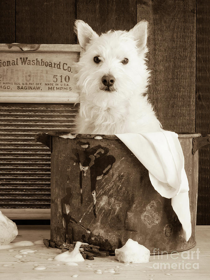 Westie Photograph - Vintage Laundry by Edward Fielding
