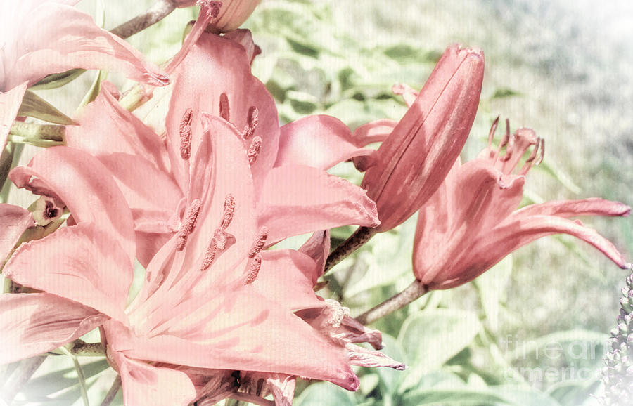 Lillies Photograph - Vintage Lilly Delight by Tina Marie