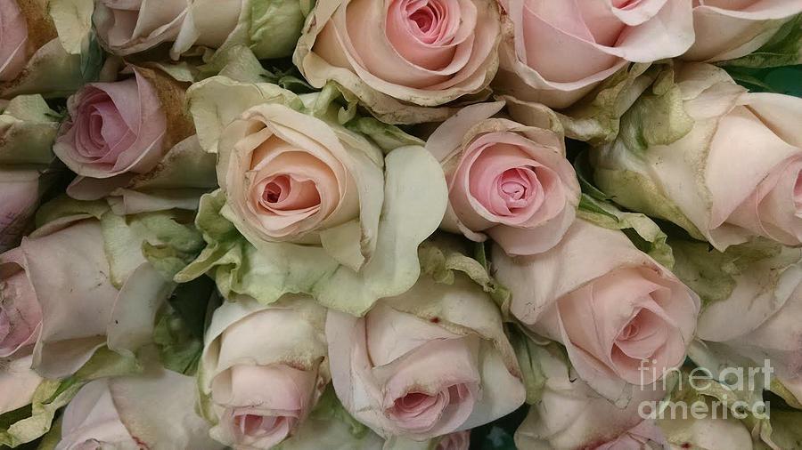 Vintage Photograph - Vintage Pink Roses by Lynn Jackson