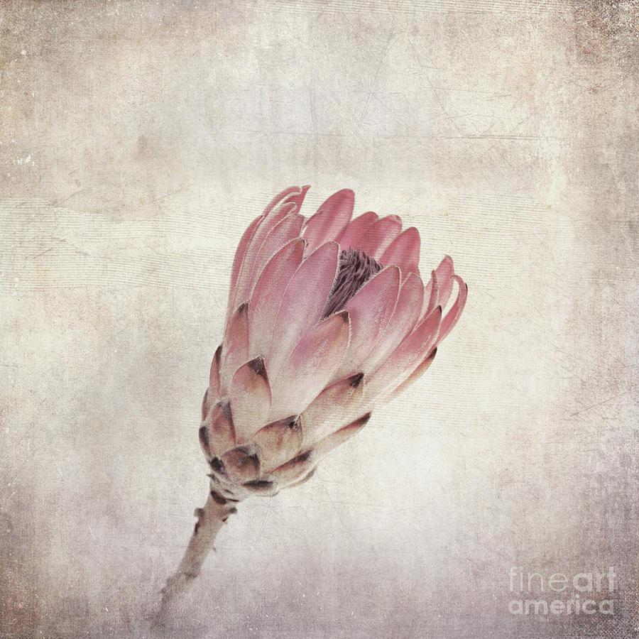 Protea Photograph - Vintage Protea Flower by Jane Rix