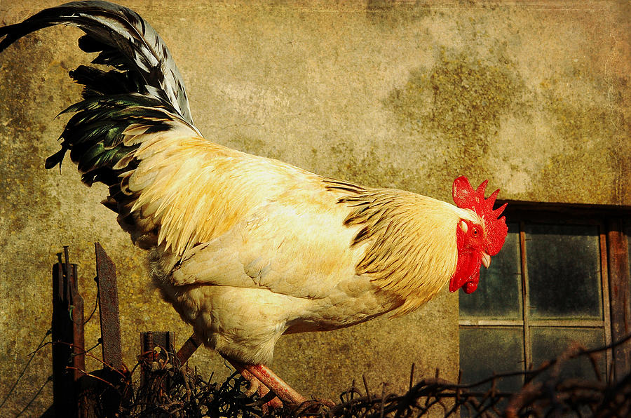 Rooster Photograph - Vintage Rooster by Gary Smith