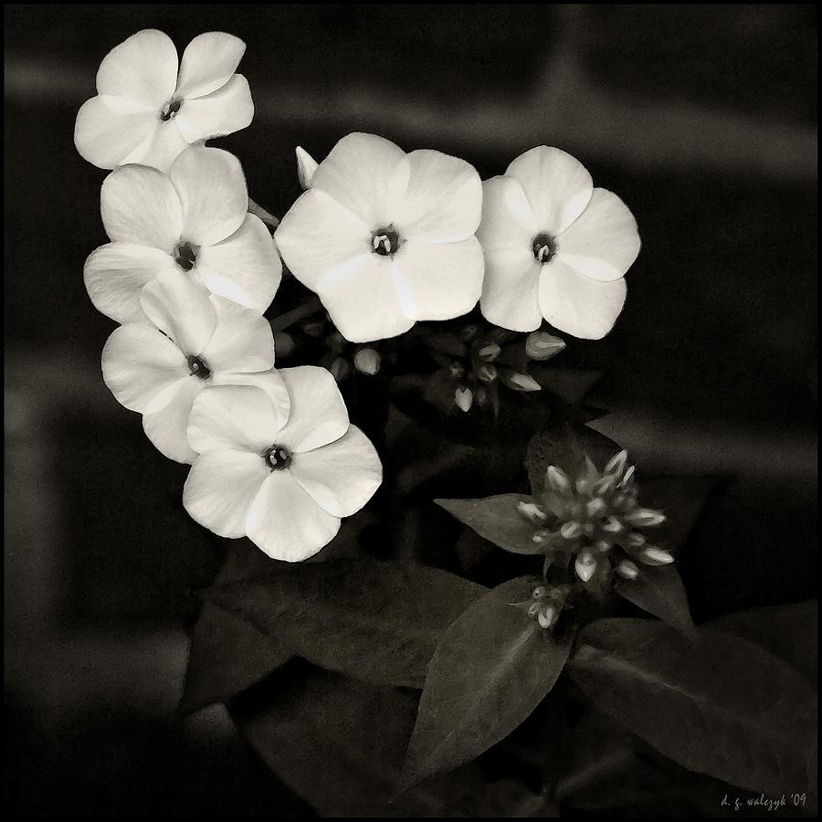 Flora Photograph - Vintage Summer Phlox No 1 by Daniel G Walczyk