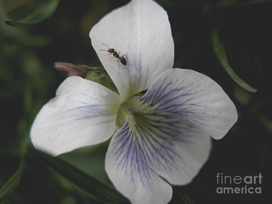 Violet Photograph - Viol-ant by Michelle Hastings