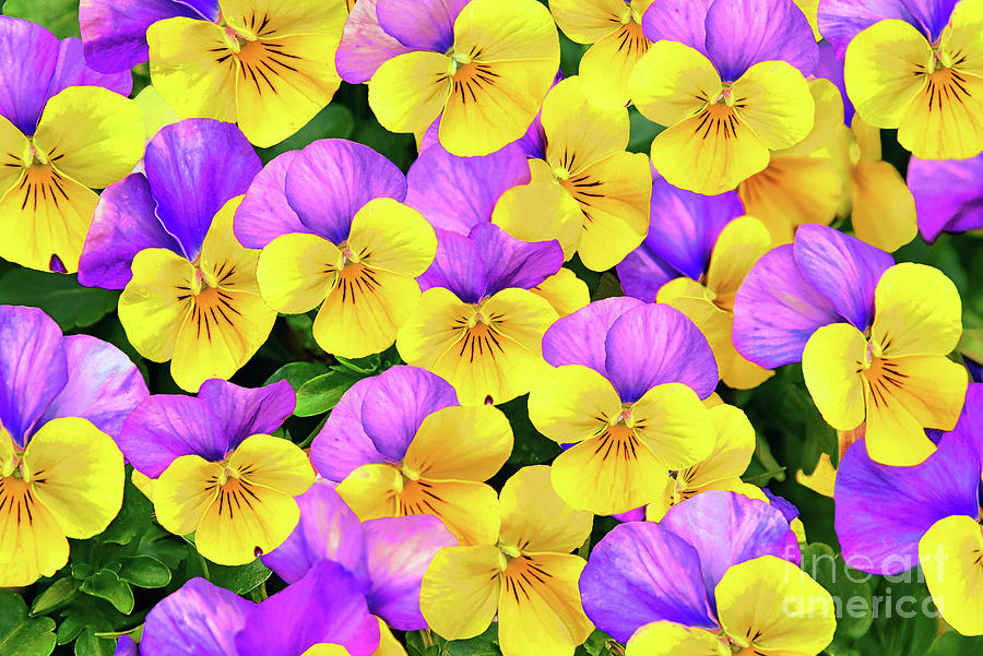 Viola Flower Art in Yellow and Purple Photograph by Regina ...