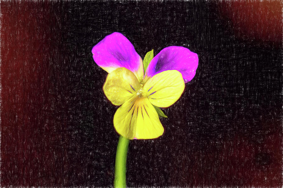 Viola With Colored Pencil Sketch Photograph By Kay Brewer