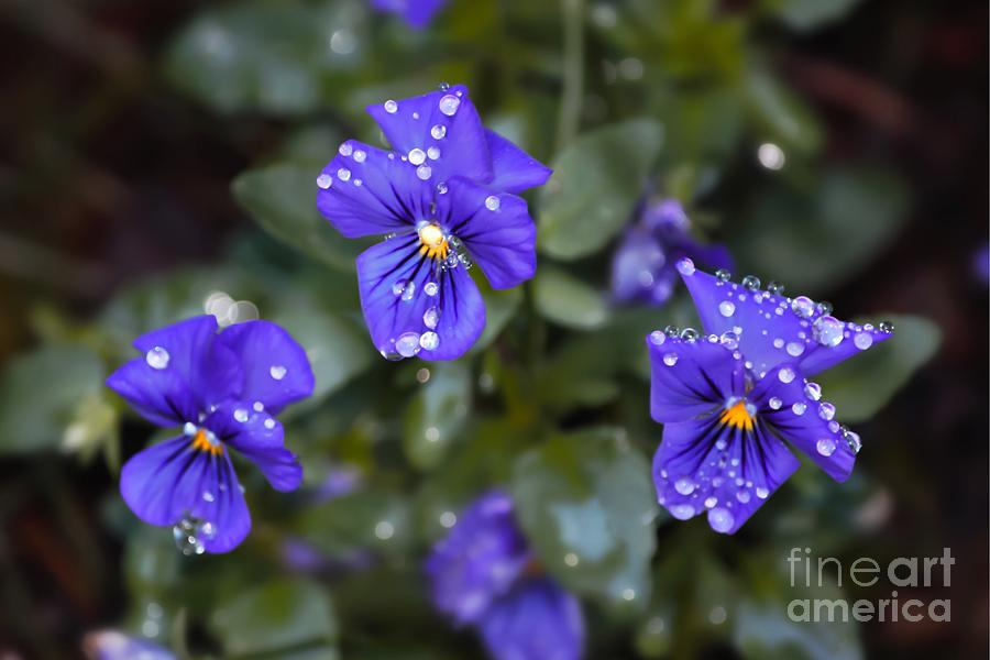 Flower Photograph - Violas After Spring Rain by Willow StandingCrow