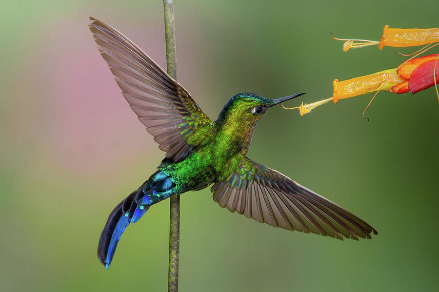 Violet-tailed Sylph 2 by Jim Frandeen