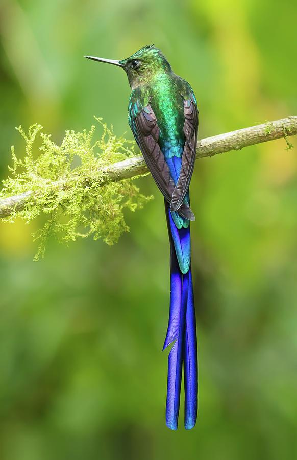 Violet-tailed Sylph Hummingbird by Jim Frandeen