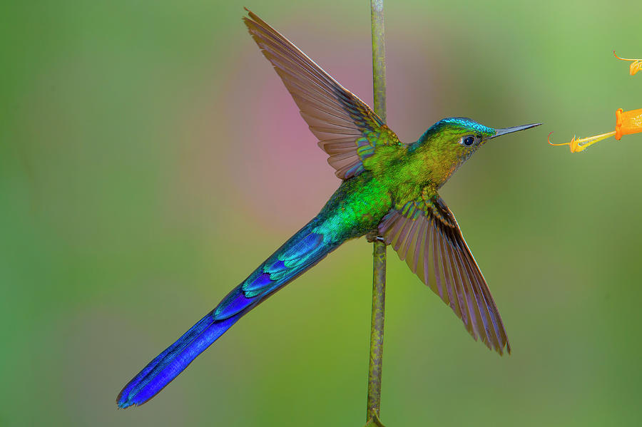 Violet-tailed Sylph by Jim Frandeen