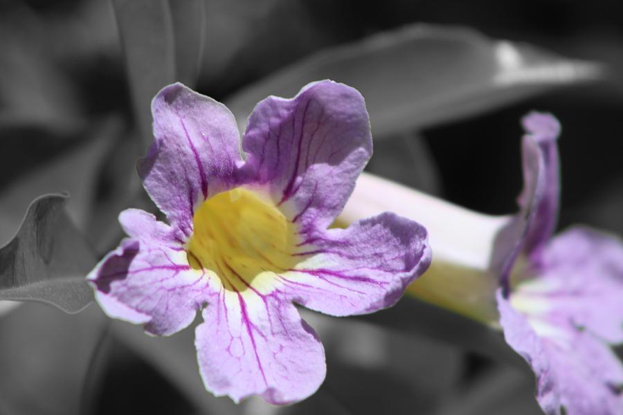 Selective Color Photograph - Violet Trumpet Vine Selective Color by Colleen Cornelius