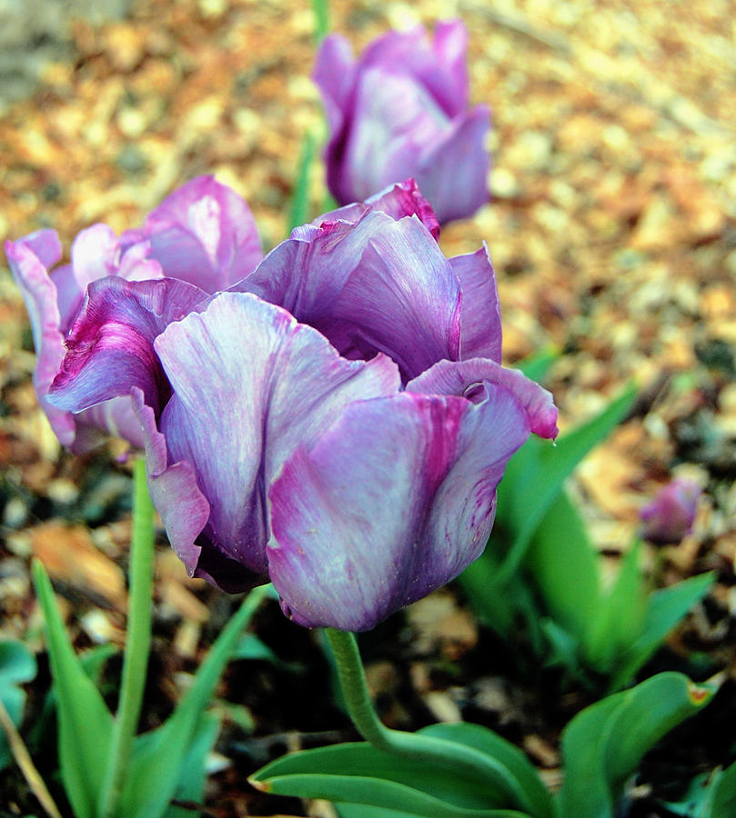 Tulip Photograph - Violet Tulips by Jame Hayes