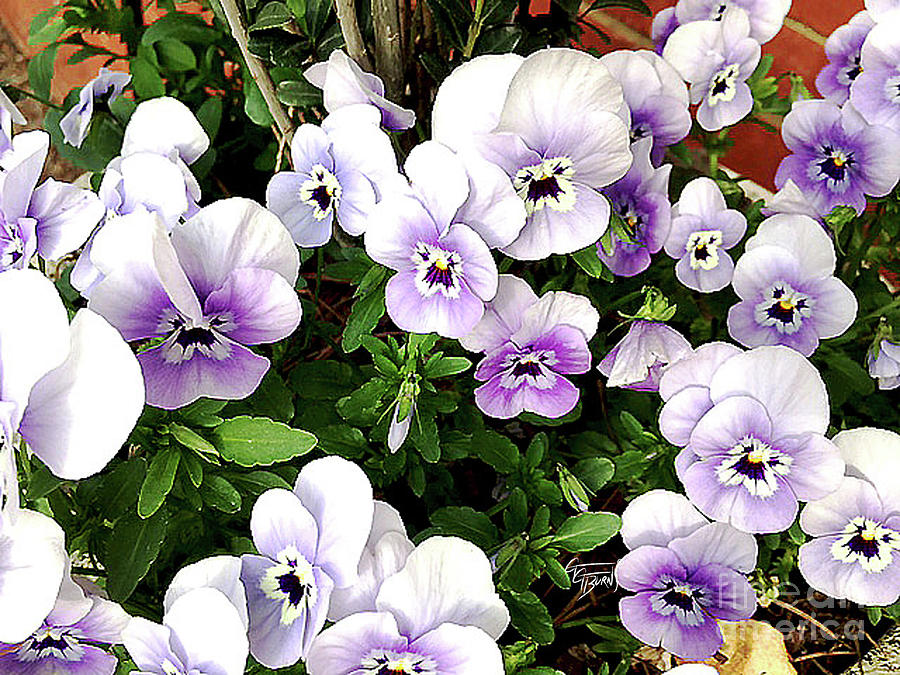 Violet Violas in the Spring by GG Burns