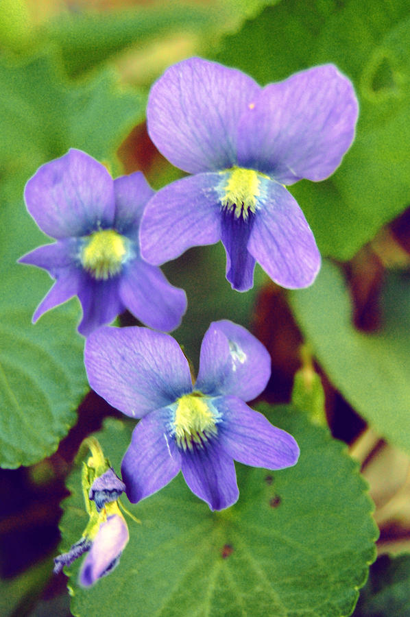 Flowers Photograph - Violets by Jame Hayes