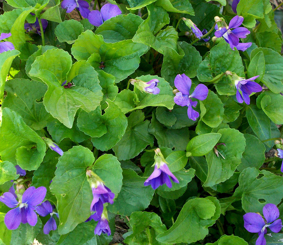 Violet Photograph - Violets by Marina Owens