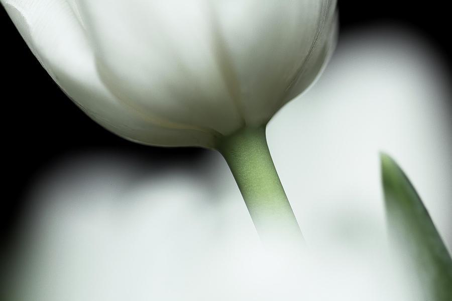 Tulip Photograph - Virgin Beauty... by Bob Daalder