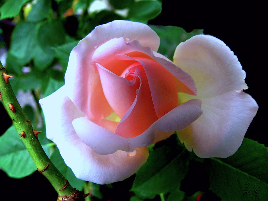 Thorns Photograph - Virgin Pink Rose With Thorns by Helmut Rottler