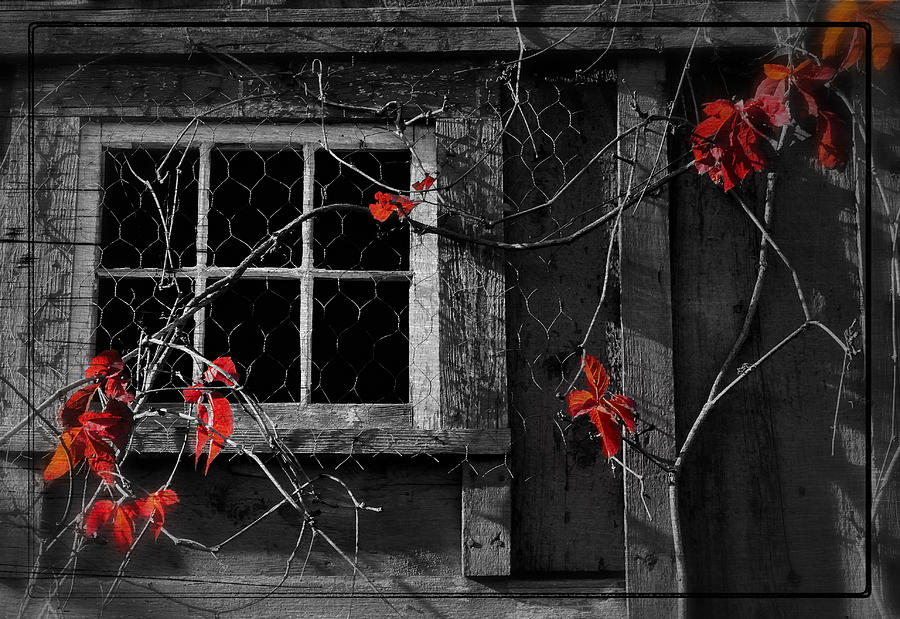 Window Photograph - Virginia Creeper by Thomas Schoeller