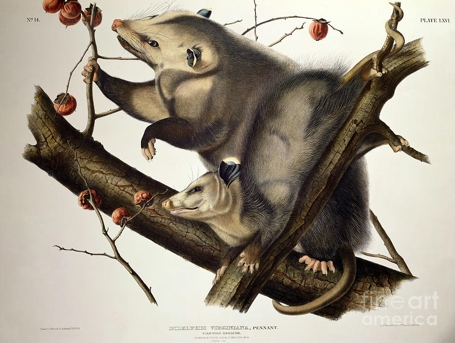 Virginian Opossum Drawing By John James Audubon