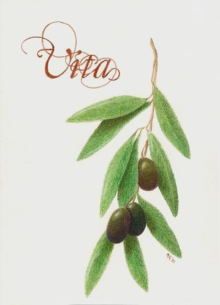 Olives Drawing - Vita by Mary Rogers