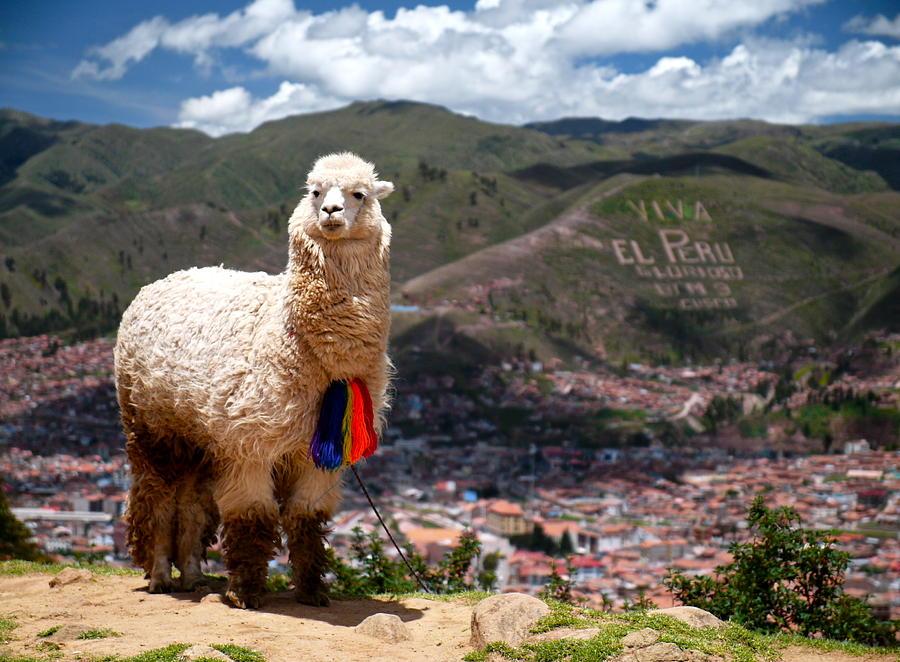 Alpaca Photograph - Viva El Peru by Kareem Farooq