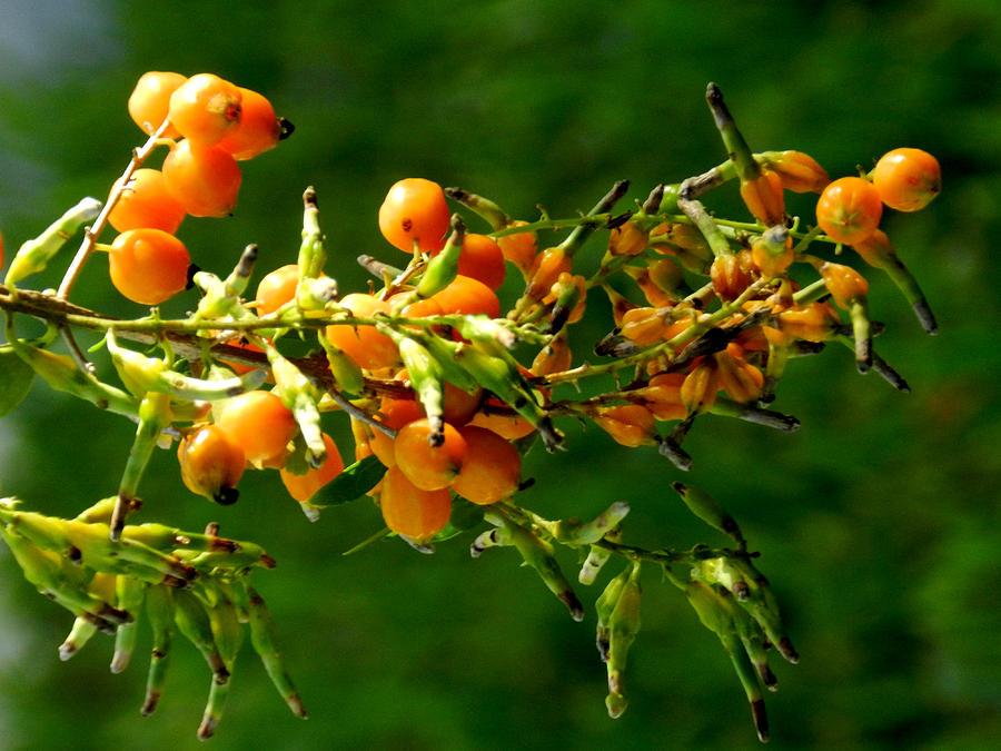 Vivid Berries Photograph