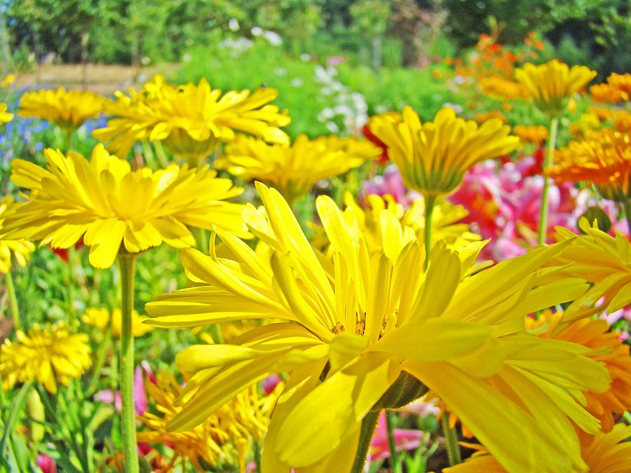 Daisy Photograph - Vivid Colorful Yellow Daisy Flowers Daisies Baslee Troutman by Baslee Troutman