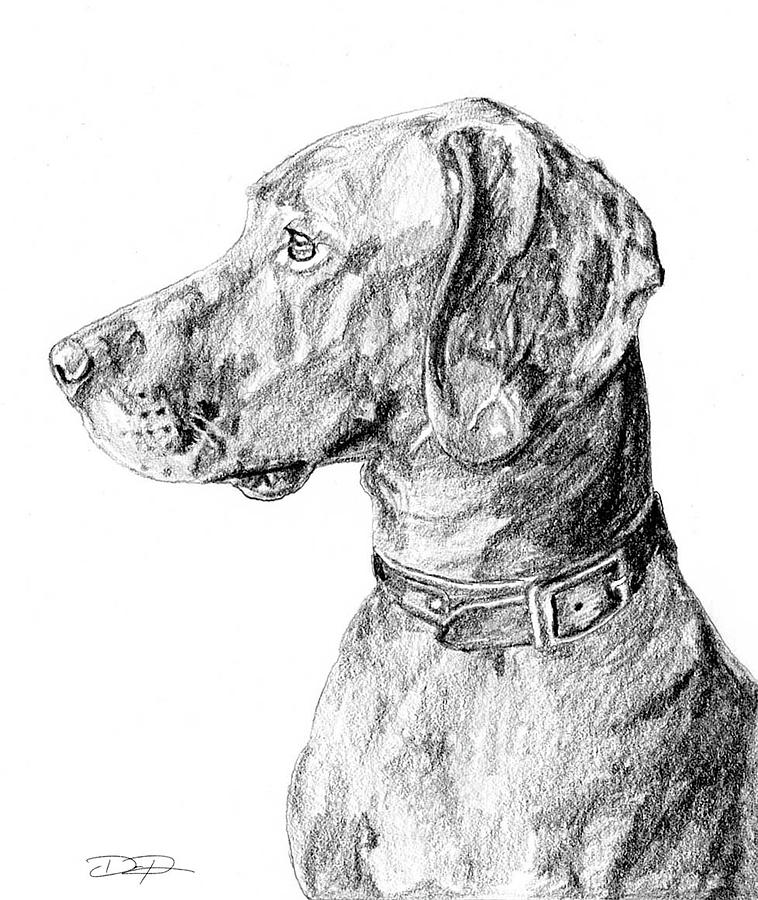 Vizsla Drawing - Vizlsa Dog by Dan Pearce