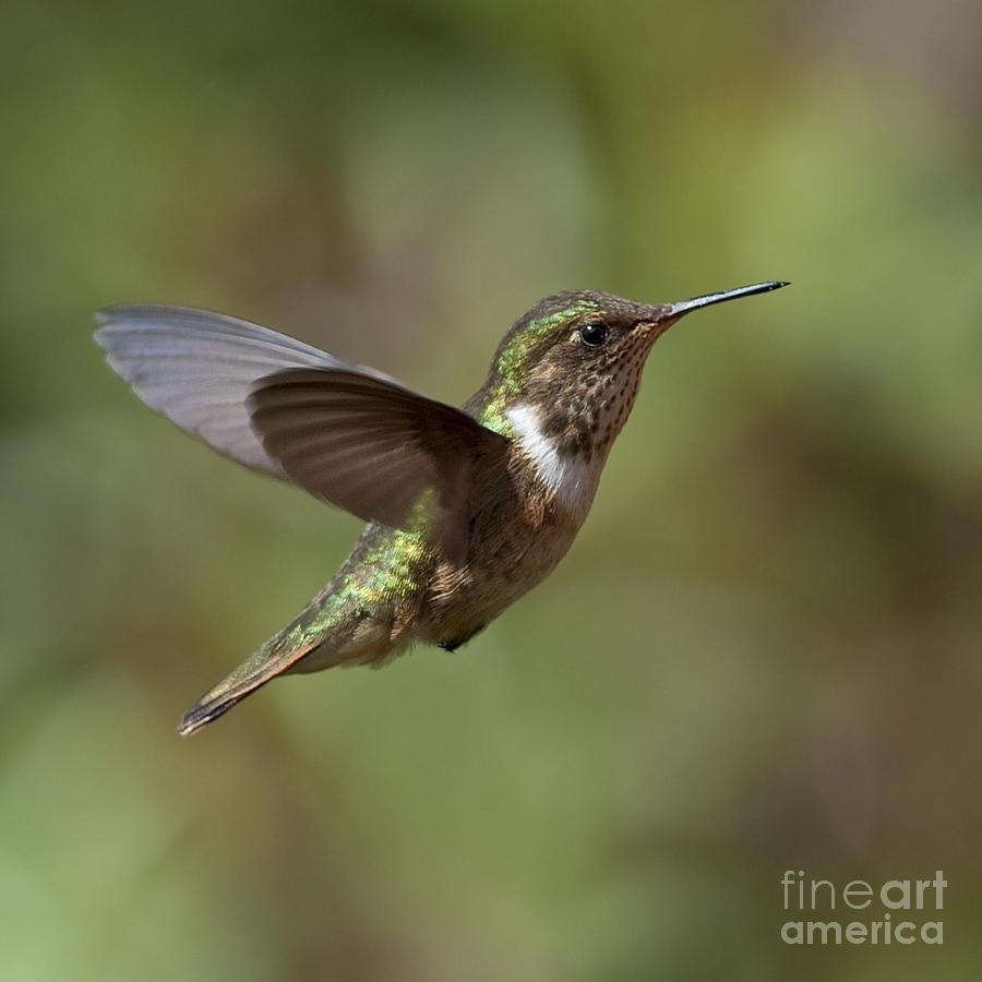 Female Photograph - Volcano Hummingbird by Nina Stavlund
