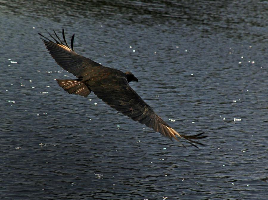 Bird Photograph - Vulture In Flight by Tito Santiago