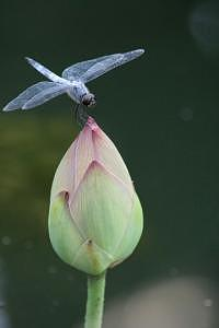 Dragonfly Photograph - W1372 by Takuo Hirata