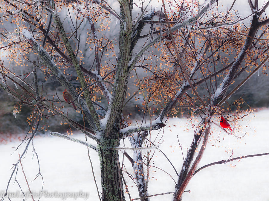 Cardinal Photograph - Waching Over Me  by Kim Loftis