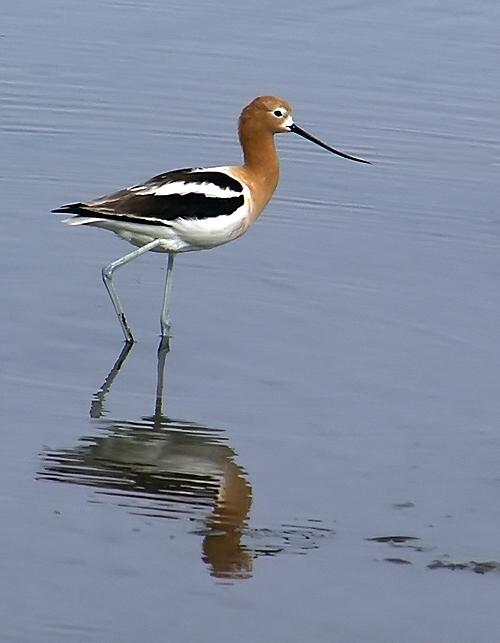 Wading Avocet Photograph by Chuck Cannova