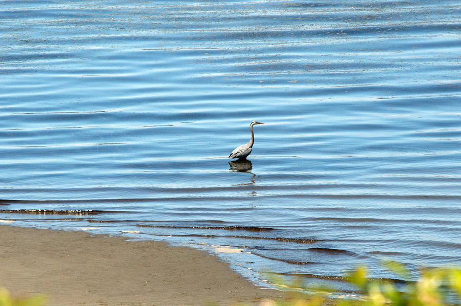 Washington Photograph - Wading Heron by Linda Kerkau