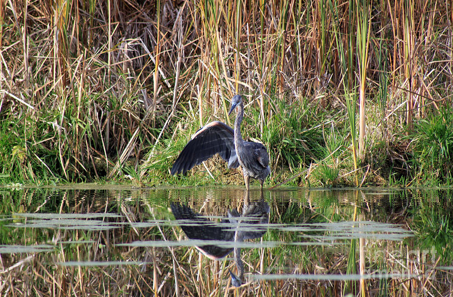 Marshland Photograph - Wading In Heron by Cathy  Beharriell