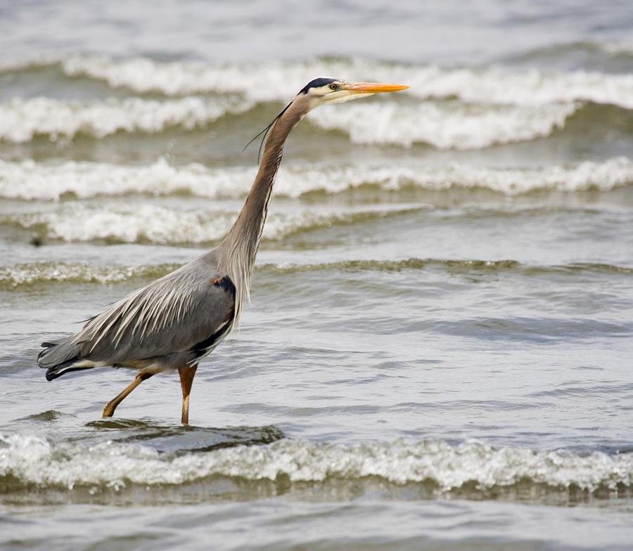 Bird Photograph - Wading by Karen Ulvestad