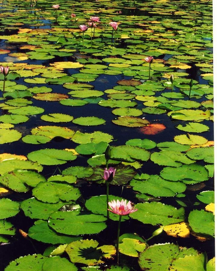 Wailea Water Lilies Photograph by Jennifer Ott