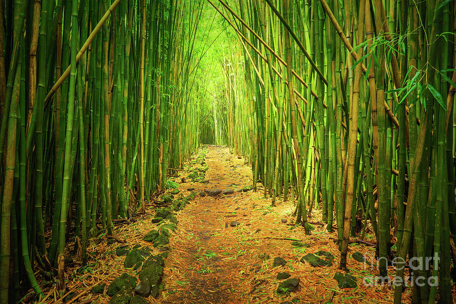 America Photograph - Waimoku Bamboo Forest by Inge Johnsson