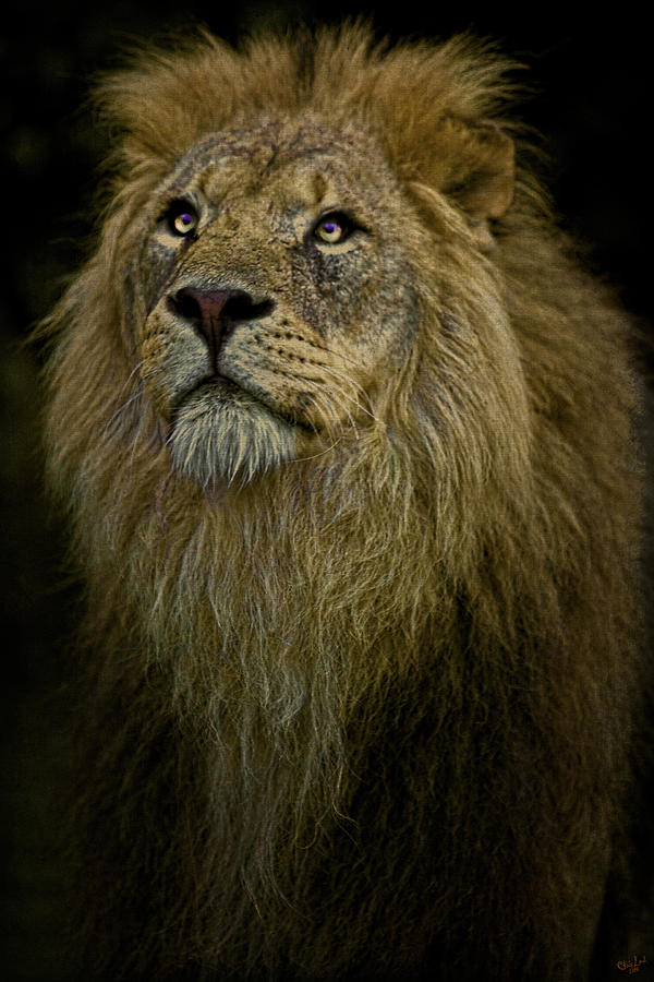 Lion Photograph - Waiting Expectantly by Chris Lord