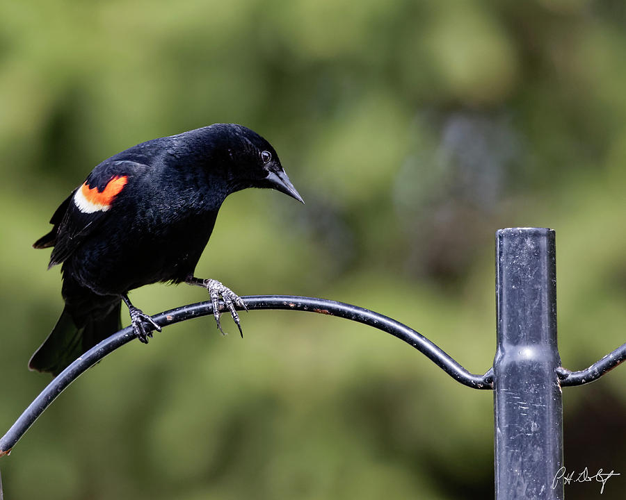 Agelaius Phoeniceus Photograph - Waiting For Suet by Phill Doherty