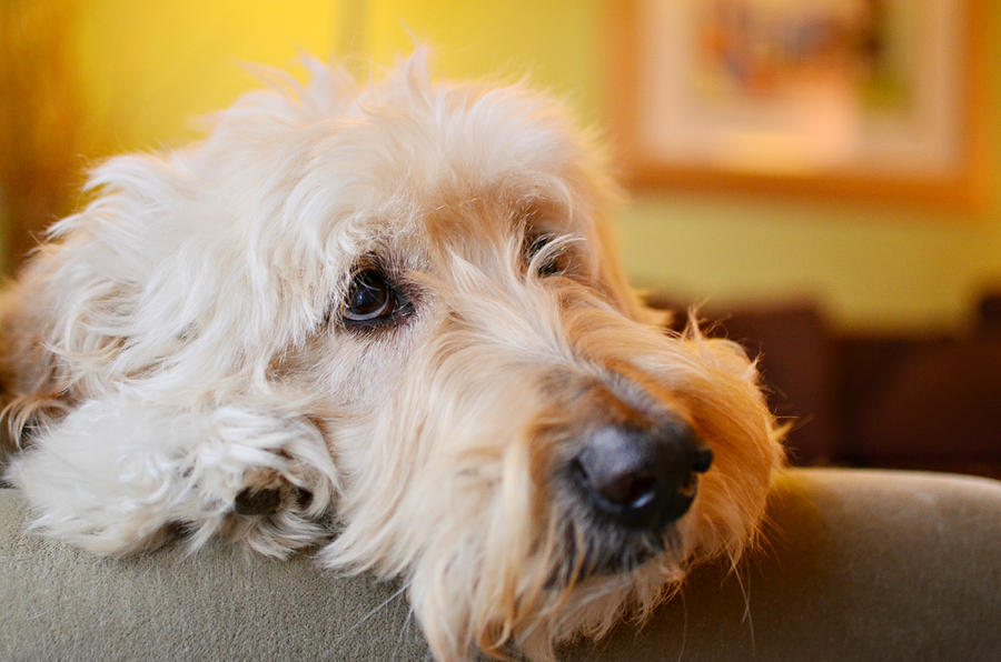 Goldendoodle Photograph - Waiting Is Hard Work by Fraida Gutovich