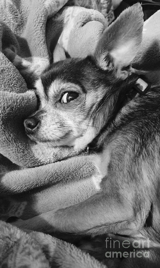 Chihuahua Photograph - Waking From A Nap by Leslie Gatson-Mudd