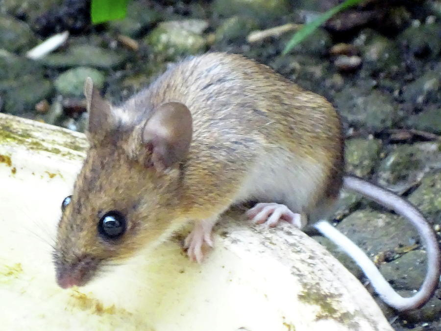 Woody Photograph - Waldmaus Woody by Helmut Rottler