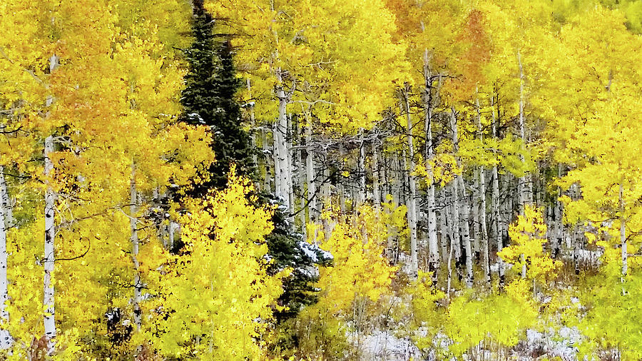 Walk in the Aspen Grove Large Canvas Art, Canvas Print, Large Art, Large Wall Decor, Home Decor by David Millenheft