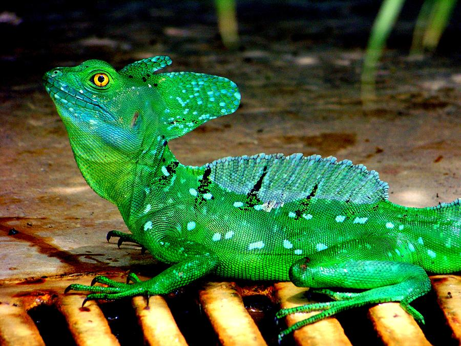Reptiles Photograph - Walk On Water by Karen Wiles