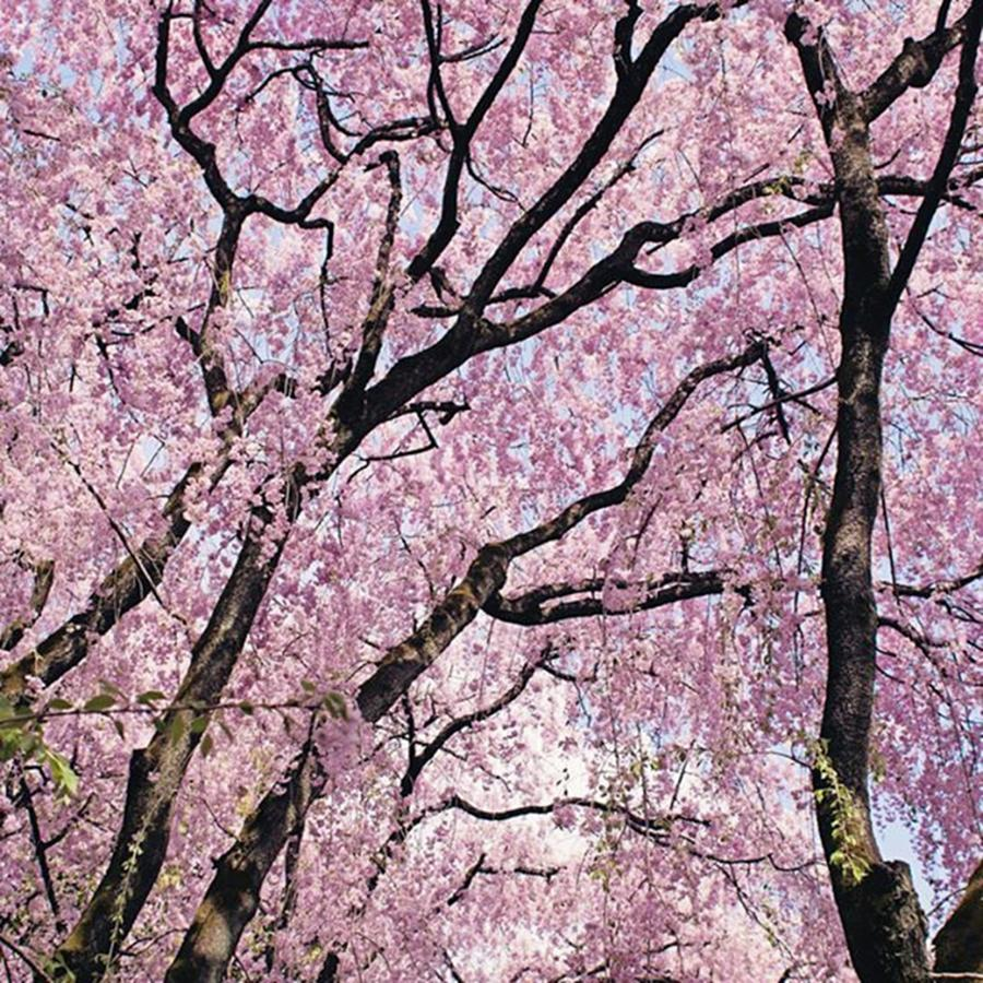 Sakura Photograph - Walking Beneath Giant Cherry Blossom by Margaret Goodwin