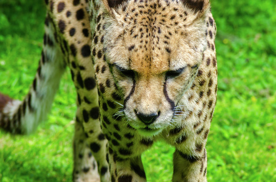 Walking Cheeta by Rainer Kersten