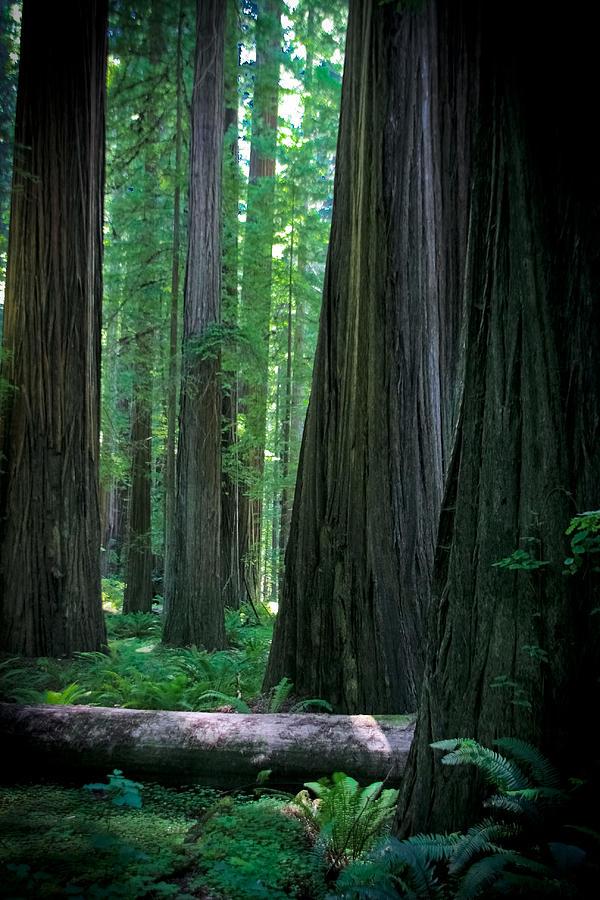 Redwoods Photograph - Walking in the Redwoods by Jonathan Hansen